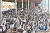 43家企业获评2017山东省畜禽屠宰标准化创建示范企业