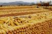 長春玉米價格續漲動力不足 建議農戶適時售糧