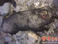 陕西一野猪袭击村民致1死1伤被民警当场击毙 场面惊心动魄!