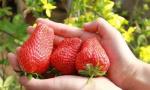 新民市第六届草莓采摘节开幕 四处草莓园可供采摘