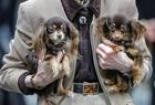 奥芬堡国际纯种狗展