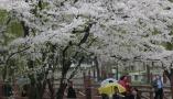 西安大唐芙蓉园樱花盛开 民众雨中赏花