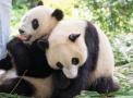 长隆双胞胎熊猫亮相