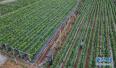 无人机镜头下的葡萄园 高效节水灌溉助农增收致富