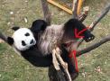 这只熊猫公主变性了