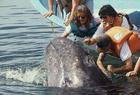 温顺灰鲸求抚摸