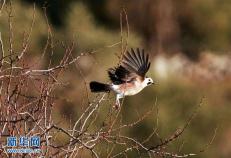 4小时为135只雨燕体检 看看鸟类专家都测了什么