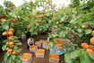 枣庄:杏丰收 果农乐