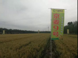 China's hybrid wheat heading towards mass production