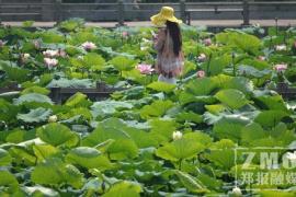 又到一年赏荷季!来郑州紫荆山公园赏荷花吧