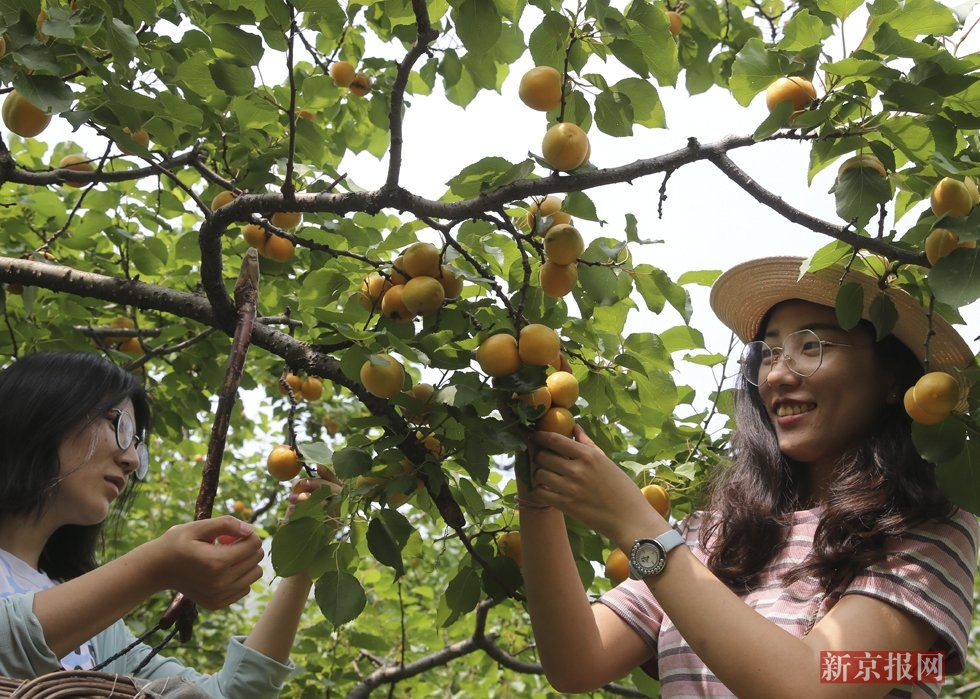红杏采摘节开幕