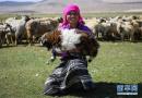 日喀则牧民剪羊毛