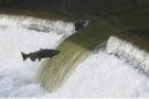 虹鳟是不是三文鱼?能不能生吃?协会与企业首度回应