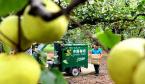 河南宁陵:22万亩的酥梨熟了