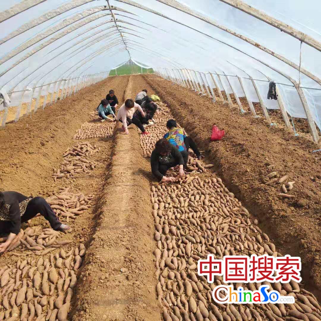 """平顶山郏县""""红薯大王""""冯增会探索产业路 照亮乡亲致富路"""