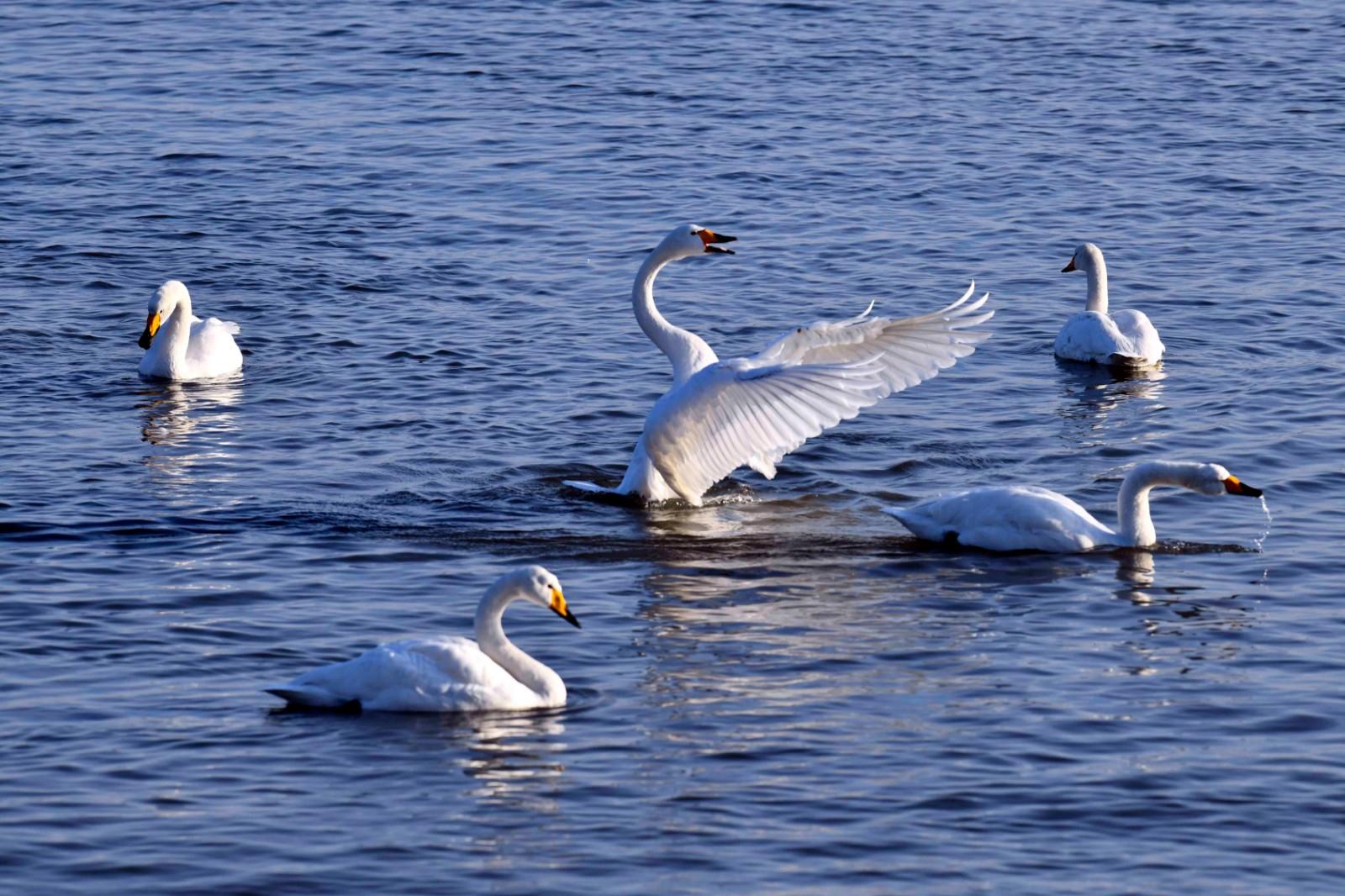 这是荣成大天鹅国家级自然保护区内的大天鹅(1月11日摄)。新华社记者 隋先凯 摄
