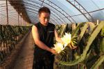 河南內黃:火龍果變身致富果