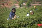 """茶乡寻茶(上):""""生态好,茶才好""""探访信阳毛尖清代茶园 """"寻根""""毛尖起源"""