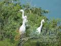 每年200多只黄嘴白鹭安家长岛 目前全球不足8000只