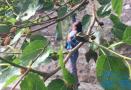 大连城里桑葚树已不多见 桑葚可以摘 别忘了保护树