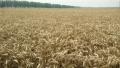 山东鲁花创新思维 花生小麦穿插种植喜获丰收