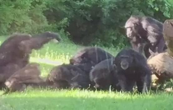 美国动物园一猩猩树上摔落 被同类疯狂群殴