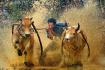 奔跑吧,水牛们!泰国赛牛节农民驾水牛狂奔