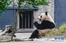 """海归大熊猫""""暖暖"""""""