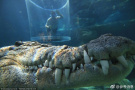 """敢在""""死亡之笼""""和鳄鱼约会么?"""
