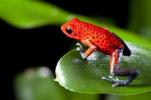 科学家揭秘毒蛙为啥毒不死自己