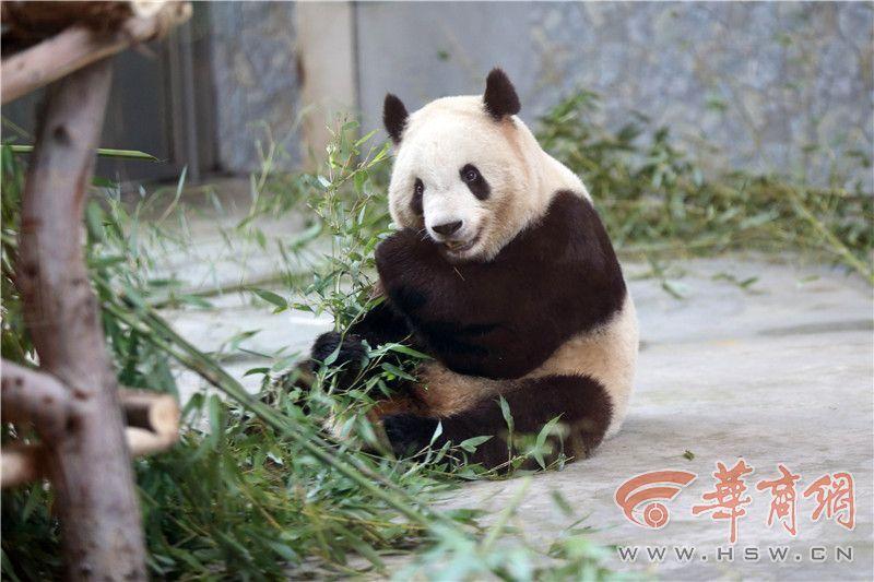 大熊猫得牙髓炎瘦成皮包骨?园方:治疗后已胖41斤