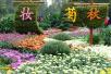 秋日的郑州人民公园:经过了醇香 菊花怒放