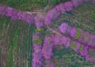 航拍茶场冬季樱花