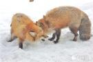 探秘日本狐狸村