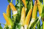 哈市嚴查轉基因作物非法種植 玉米大豆田發現轉基因立即剷除