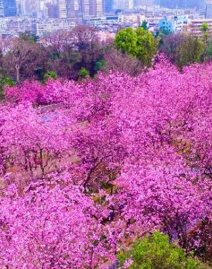 云南昆明:三月樱花漫枝头