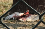 丹顶鹤被打出血 园方回应:饲养员被啄后反击 已停职