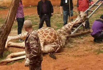 """长颈鹿""""蹭痒""""时被卡树杈 经抢救无效死亡"""