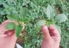 河南长垣一家人把曼陀罗认作野菜尝鲜 结果三口全中毒