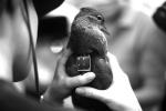 """杭州的候鸟鸳鸯首次被环志 获得""""全球身份证"""""""