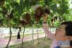 家门口的葡萄开吃啦 盘点郑州周边的葡萄园