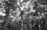 """魏璎珞""""挠痒痒""""的神树 南京紫金山上有很多"""