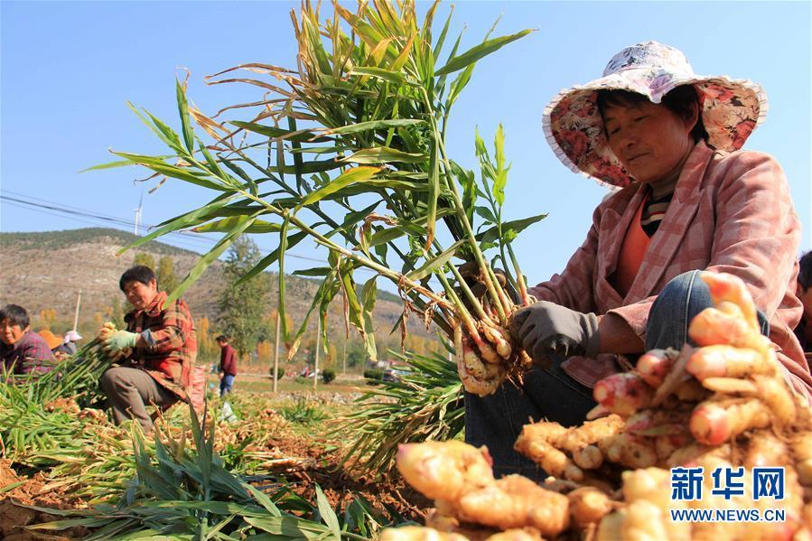10月30日,山东省枣庄市山亭区凫城镇崔庄村的农户在收获小黄姜。  新华社发(王启蒙 摄)