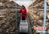 桐柏:香菇扶贫就业基地?#19981;?#20016;收