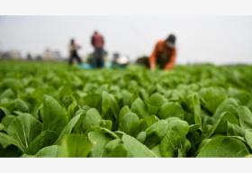 一分6合江苏 蔷薇村驰援一分6合湖北  30万斤爱心蔬菜背后的故事