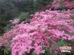 """首届""""鲁山县杜鹃花节""""将于4月18日盛大开幕"""