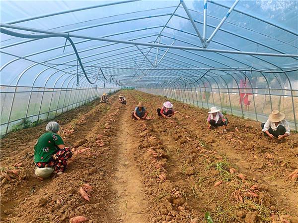 叶县|河南叶县:大棚小蜜薯 丰收富村民