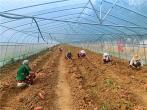 河南叶县:大棚小蜜薯 丰收富村民