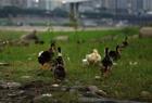 嘉陵江一段变养鸭厂