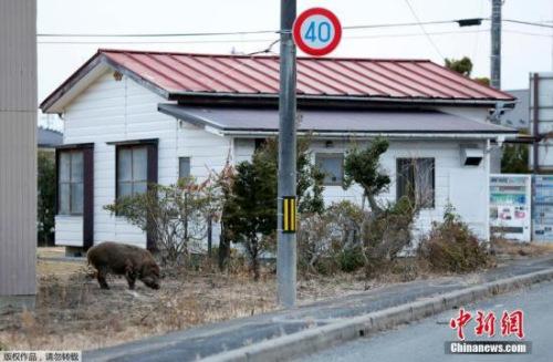 日本 福岛/资料图:日本街边的野猪